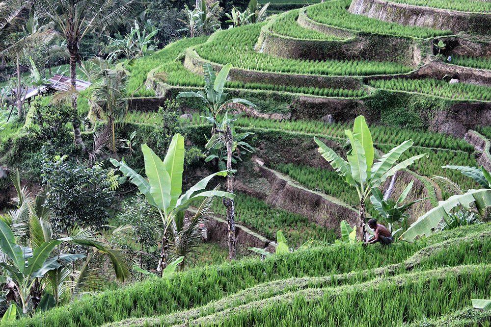 Bali_4b-Jatiluwih  (5)